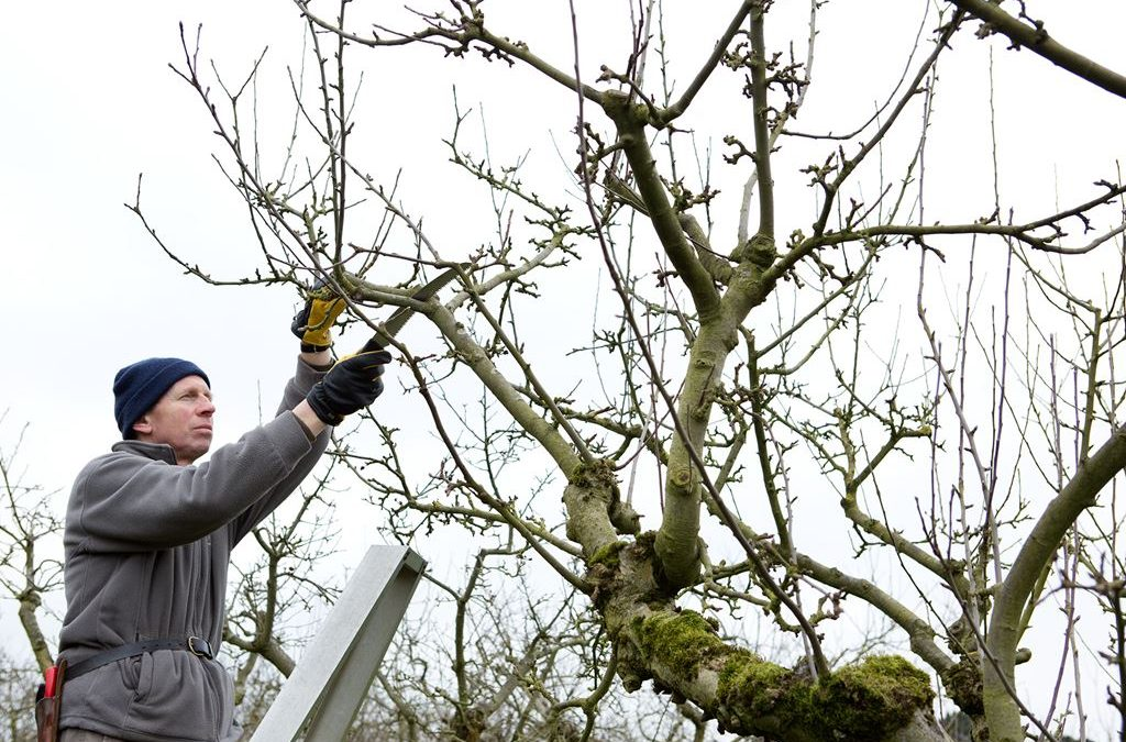 The Secret to Pruning Apple Trees