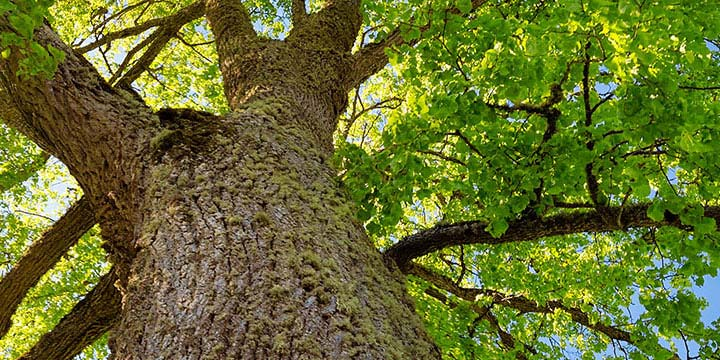 What You Should Know About Dutch Elm Disease