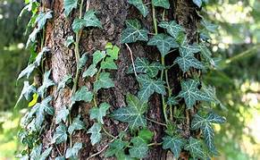 Vines And Trees: Do Vines Harm Trees By Growing On Them?