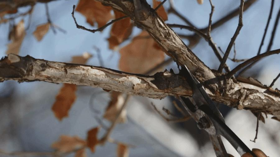 The Benefit of Dormant Season Structural Pruning