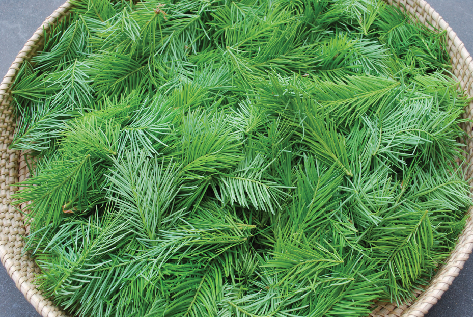 How to Propagate Conifers from Cuttings