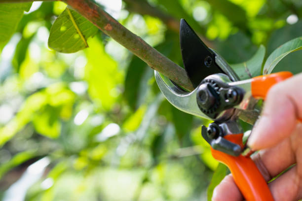 Pruning Fruit Trees Correctly And Successfully: Step By Step
