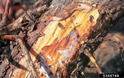Butt Rot Tree Disease Control: How To Prevent