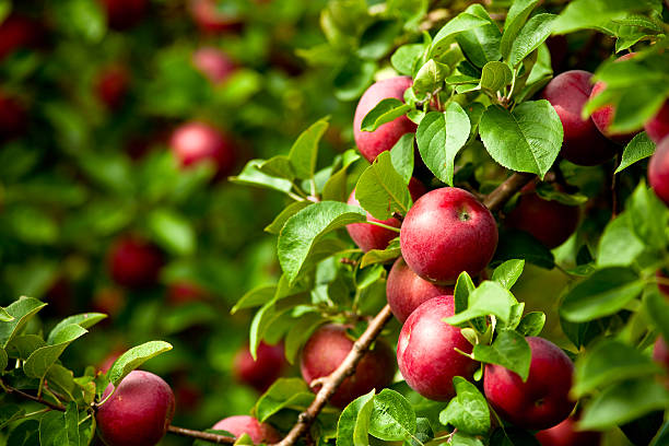 How to Move a Mature Or Older Fruit Tree