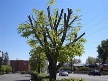 Tree Topping Information – Does Tree Topping Hurt Trees