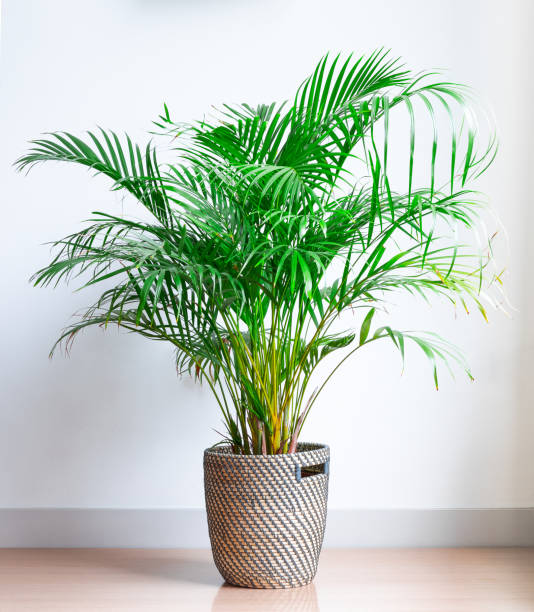Step By Step: Growing Indoor Palm Trees