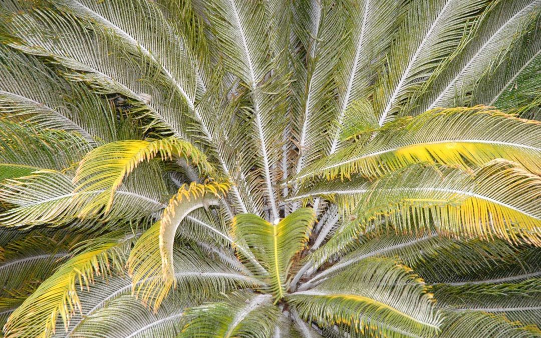 How To Get Rid And To Cure Fungus On Palm Trees