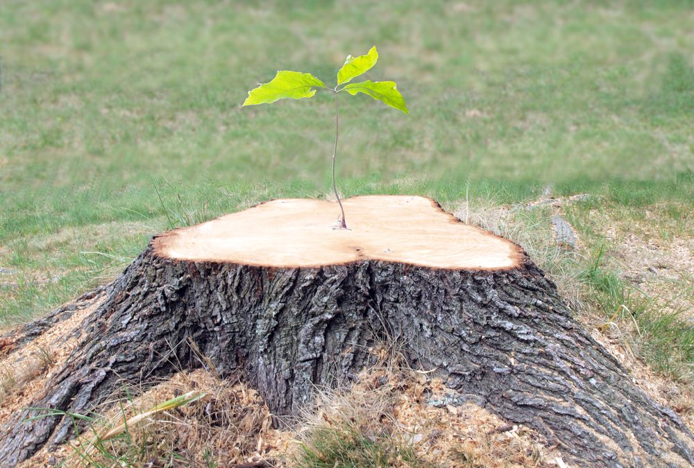 How To Care And Plant A Tree From A Root Sprout