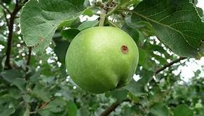 Signs And When To Spray Apple Trees to Prevent Casualties