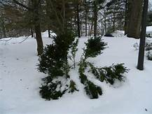 Solutions For Salt Damage To Trees And Shrubs In Winter